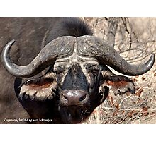 """IN PORTRAIT"" of the older BUFFALO - *Syncerus caffer* Photographic Print"