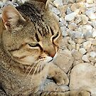 Relaxed Tabby Cat Against Stones and Pebbles by taiche