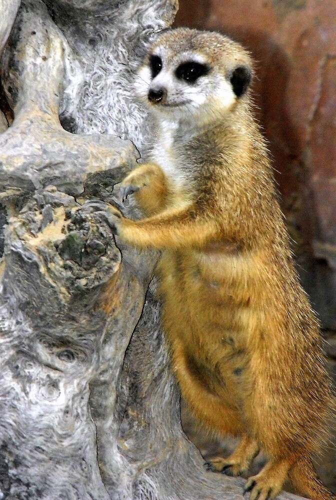 Meercat Soldier by Colleen Rohrbaugh