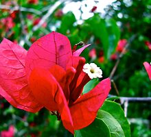 Bougainvillea - Progreso by kolyssa