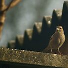 Female House Sparrow by Rustyoldtown