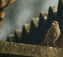 Female House Sparrow by Rustyoldtown