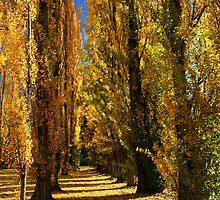 Farrington Poplars at Bright by Darren Stones