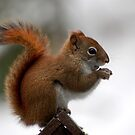 red tail squirrel by Roslyn Lunetta