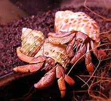 Hermit Crabs by Jonice