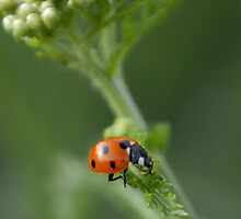 Ladybird, ladybird.... by Heather Thorsen