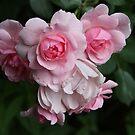 Cluster of Blushing Spring Roses by ElyseFradkin