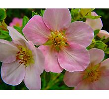 Apple Blossom Delight Photographic Print
