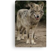 Rescued Timber Wolf 1 Canvas Print