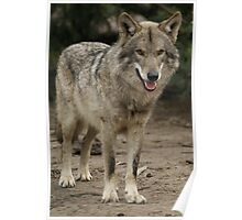 Rescued Timber Wolf 1 Poster