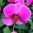 Pink Orchid - Phalaenopsis by LowLightImages