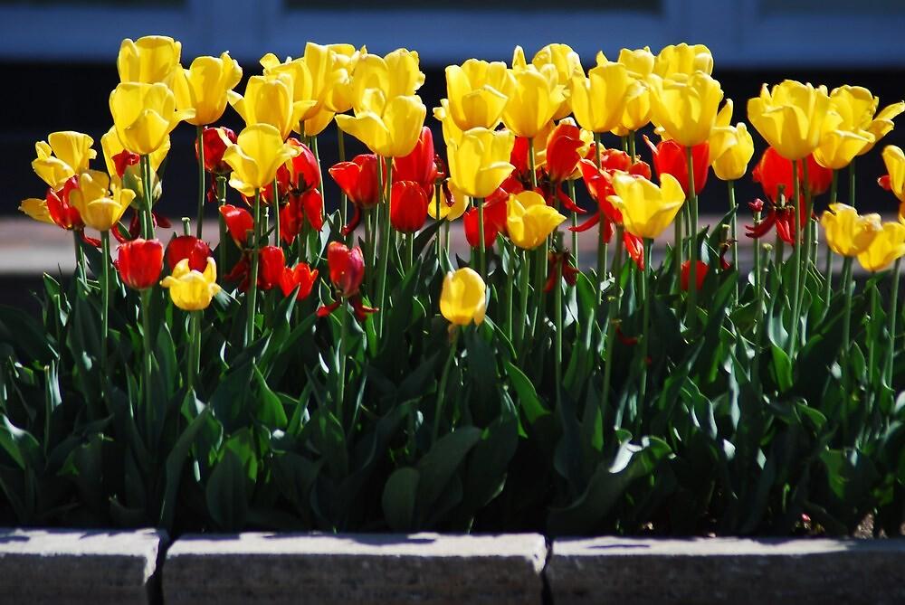 Spring Flowers on the Plaza, Kansas City, Mo by Chelsea Herzberg