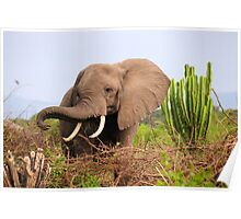 African Elephant - Uganda Poster