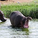Big Yawn - Kazinga Channel, Uganda by Derek McMorrine