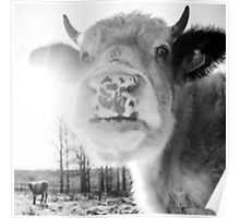 Cattle In Sun Poster
