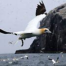 Flying Gannet - Bass Rock, Scotland by Derek McMorrine