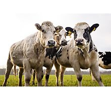 Beef Cattle On A Field Photographic Print