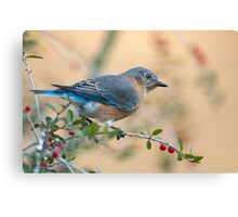 Bluebird in Holly  Canvas Print