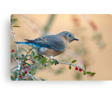 Bluebird in Holly  Canvas Print