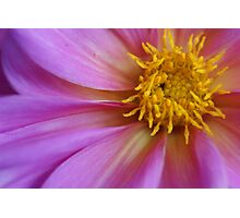 Dahlia closeup Photographic Print