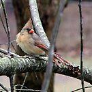 Mrs. Cardinal by Lolabud