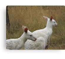 Snow Kangaroos Canvas Print