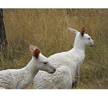 Snow Kangaroos Photographic Print