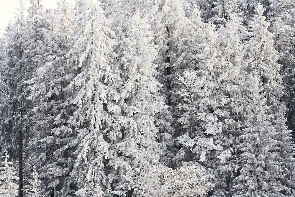 Winter Trees - Boedele, Austria by Chelsea Herzberg