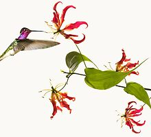 Colibri on tropical lily flower by Atanas Bozhikov NASKO