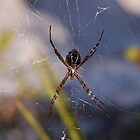 Orb Weaver Spider  by Michael L Dye