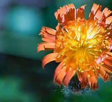 Orange Hawk Weed by AmyCK