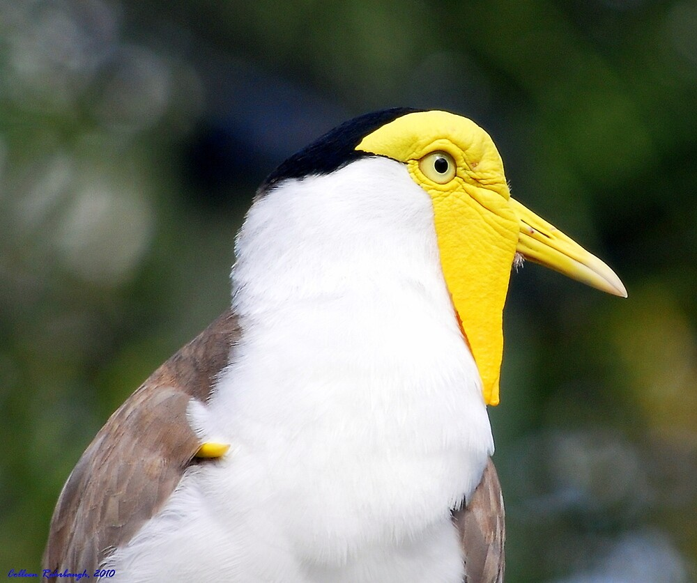 Masked Lapwing by Colleen Rohrbaugh