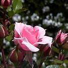 Dainty pink rose study by BronReid