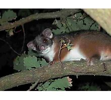 Ring-tailed Possum hopes for a treat Photographic Print