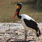 Saddle Billed Stork by Jo McGowan