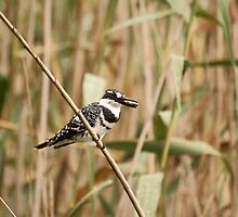 Pied Kingfisher by kgb224