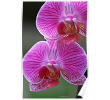 Orchid Duo Pose Poster
