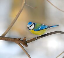 Perched Blue tit by Swell Photography