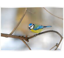 Perched Blue tit Poster