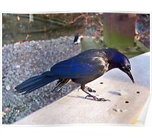 The Curious Grackle Poster