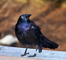 The Common Grackle by Dandelion Dilluvio