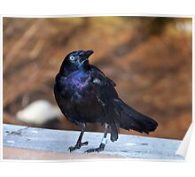 The Common Grackle Poster