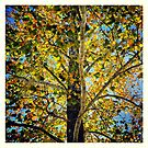 Autumn Sycamore by Colleen Drew
