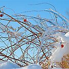 Icy and Snowy Berries by H A Waring Johnson