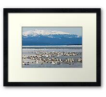 Migratory waterfowl gathers at Swan Haven, Marsh Lake, Yukon Framed Print