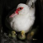 Muscovy Duck and Ducklings by livinginoz