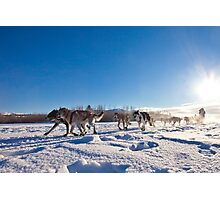 Yukon Quest dog team pulling sled Photographic Print