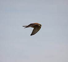 Kestrel in flight by Jon Lees