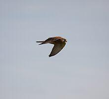 Kestrel in flight by Jon Lees