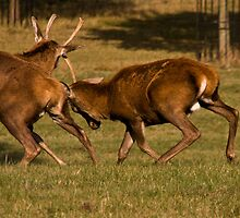 Practicing Rutting by AloneImages